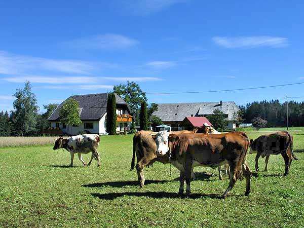 Kühe auf dem Reibehof