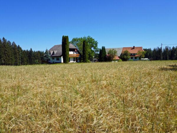 Getreidefeld auf dem Reibehof